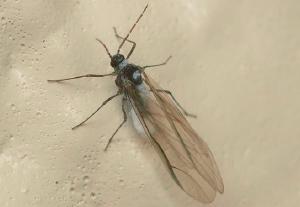 アブラムシ(有翅虫)